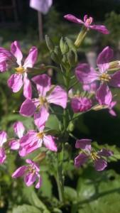 rosa Radieschenblüte