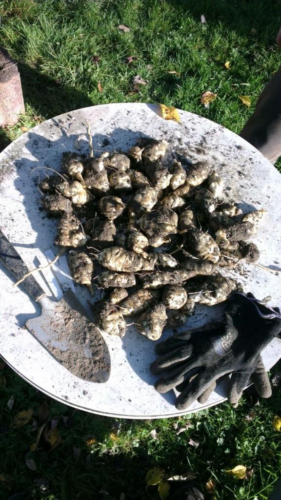 Die Ausbeute aus einer einzigen Topinamburpflanze: 1800 Gramm frische Topiknollen!